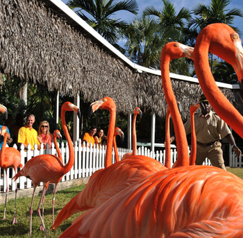 nassau-paradise-island-flamingo-march